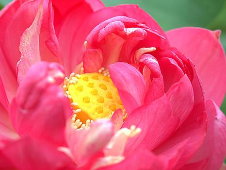 Pink Lotus Flower by Rachel Mirror