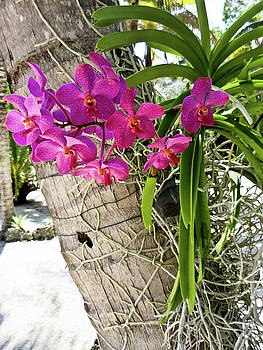 TONY GRIDER - Pink Orchids on Palm Tree