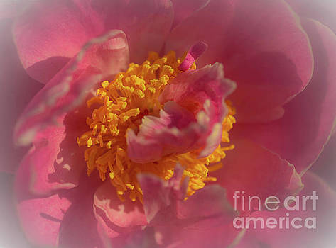 Pink Peony by Sherman Perry