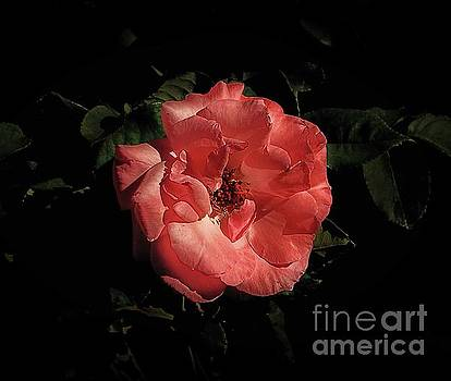 Pink Petals by Arnie Goldstein