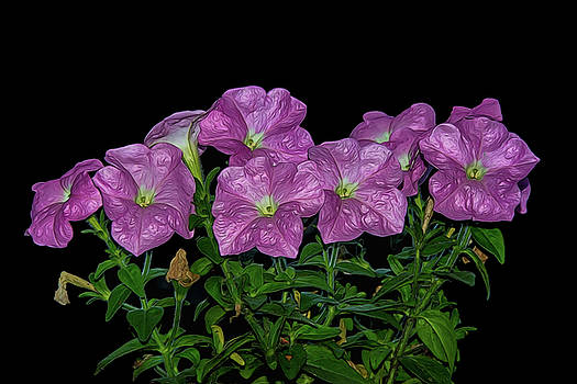 Pink Petunia On Black by Cathy Kovarik