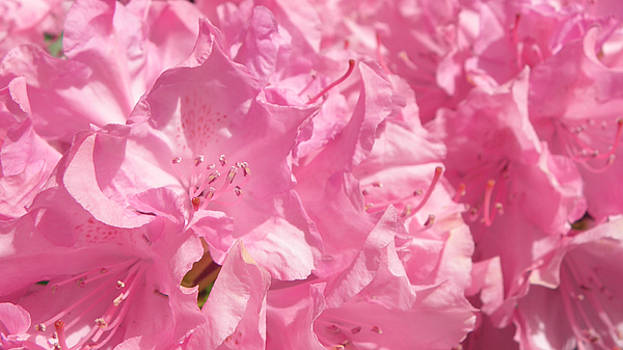 Pink Rhodedendrum by Don Pettengill