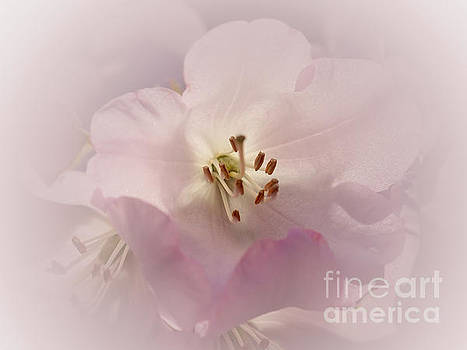 Pink Rhododendron 3 by Rudi Prott