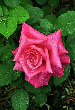 Pink Rose 016 by George Bostian