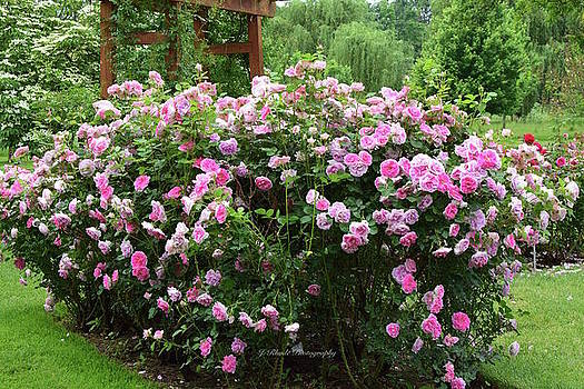 Pink Rose Bush by Jeannie Rhode Photography