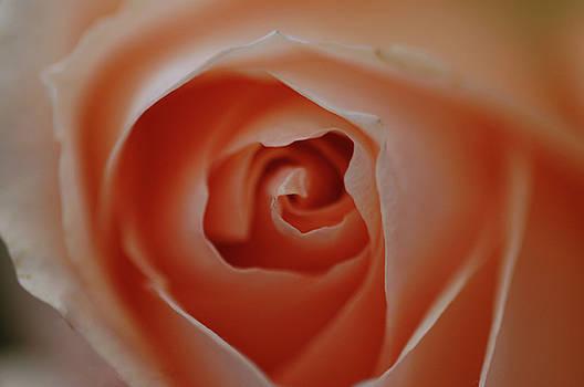 Pink Rose Macro by Rafael Figueroa
