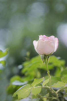 Pink Rose by Mary Carver