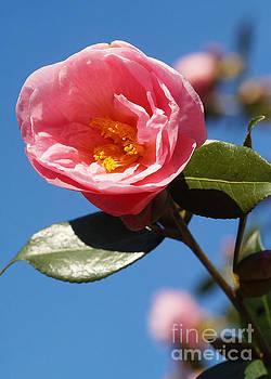 Pink Rose by Rudi Prott