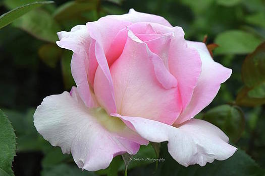 Pink Rose Unfolding by Jeannie Rhode Photography