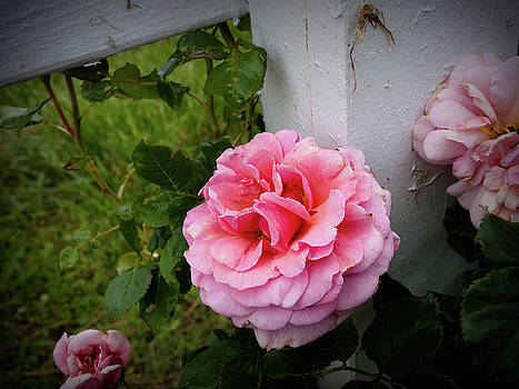 Pink Rose by Valeria Donaldson