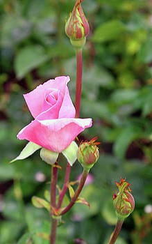 Pink Rosebud by Ellen Tully
