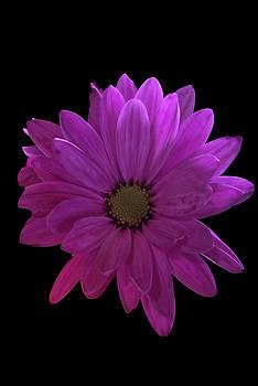 Cindy Boyd - Pink Spring Daisy on Black