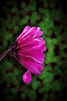 Cindy Boyd - Pink Spring daisy on Green