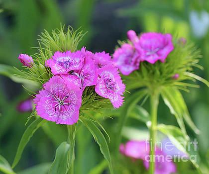 Pink Sweet William Flower Portrait  by Karen Adams