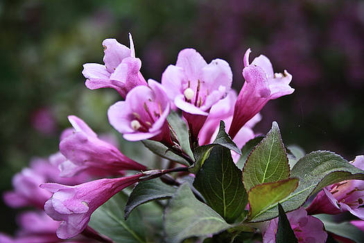 Pink Trumpets by Nora Blansett