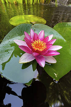 Pink Water Lily Flower Closeup by Jit Lim