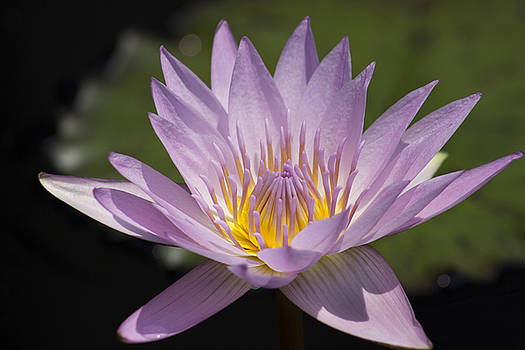 Pink Water Lily by Mark Michel