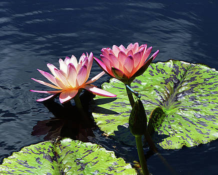 Pink Water Lily by Sue Houston