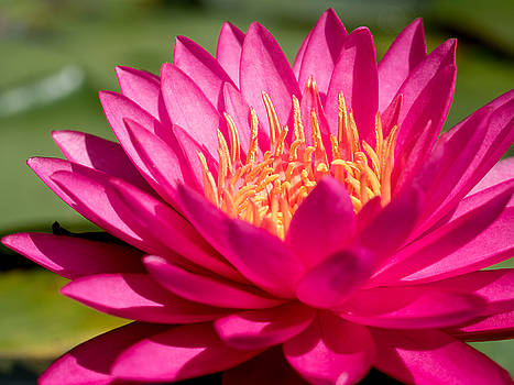 Pink Waterlily by Paula Ponath