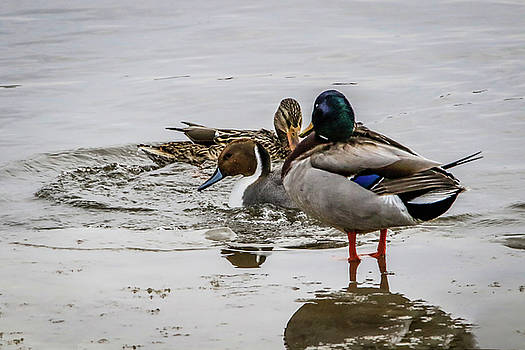 Pintail And Mallards by Ray Congrove