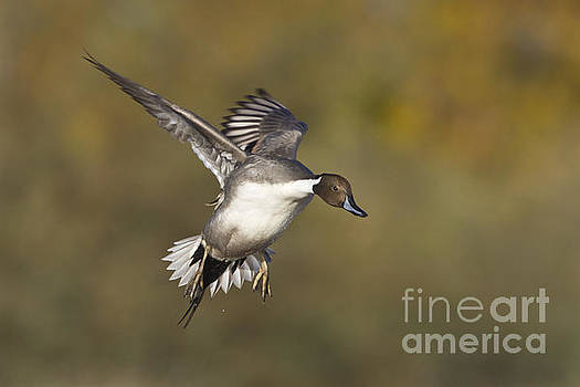 Pintail coming in by Bryan Keil