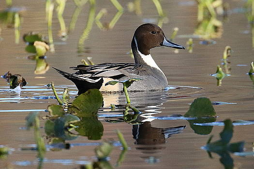 Pintail Duck by DVP Artography