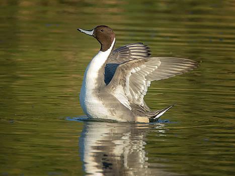 Tam Ryan - Pintail Duck