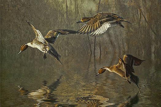 Pintail Ducks by Brian Tarr