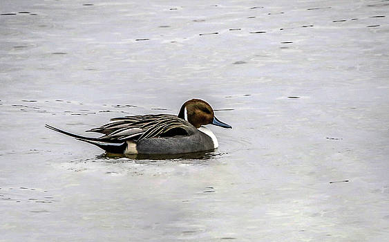 Pintail Profile by Ray Congrove