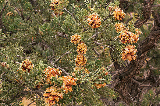 Pinyon Pine by Peter J Sucy