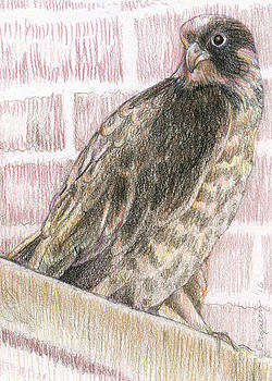 Pittsburgh Peregrine by Rose Gauss
