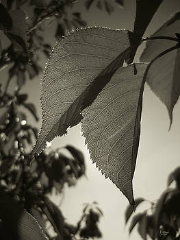 Platinum Leaves 1 by Jeff Breiman