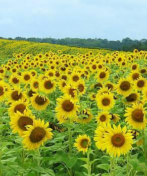 Plenty of  Sunflowers by Lori Frisch