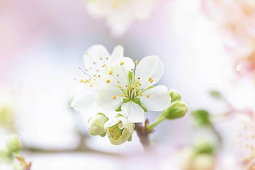 Plum Blossom by Jacky Parker
