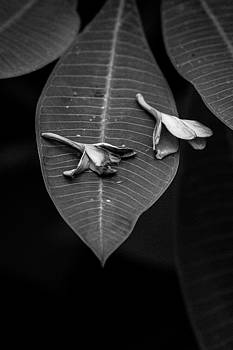 Plumeria in Black and White by Dan Lease