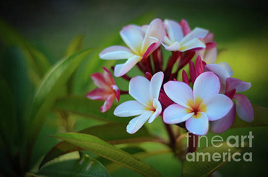 Plumeria Sunset by Kelly Wade