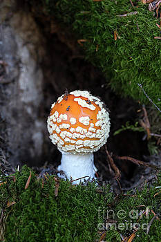 Poisonous Amanita Mushroom Growing in Moss by Brandon Alms