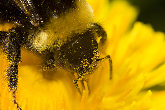 Pollen head by Jouko Mikkola