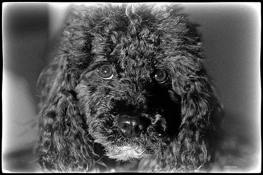 Poodle by Dennis Baswell