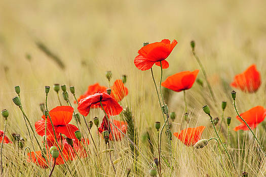 Poppies 1 by Sophie De Roumanie