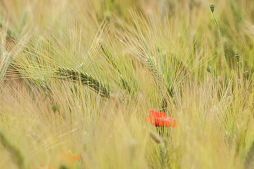 Poppies 2 by Sophie De Roumanie