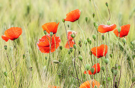 Poppies 3 by Sophie De Roumanie