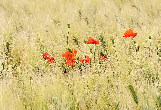 Poppies 4 by Sophie De Roumanie