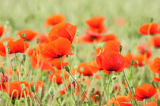 Poppies 5 by Sophie De Roumanie