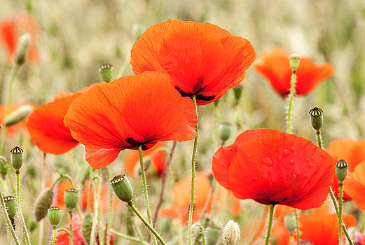 Poppies 6 by Sophie De Roumanie