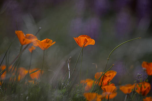 Poppies and Lupine by Roger Mullenhour