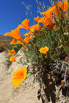 Poppies Close Up by Scott Cunningham