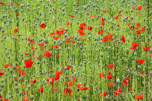 Poppies forever by Sophie De Roumanie