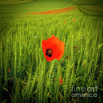 Poppies in a field of wheat. Auvergne. France by Bernard Jaubert