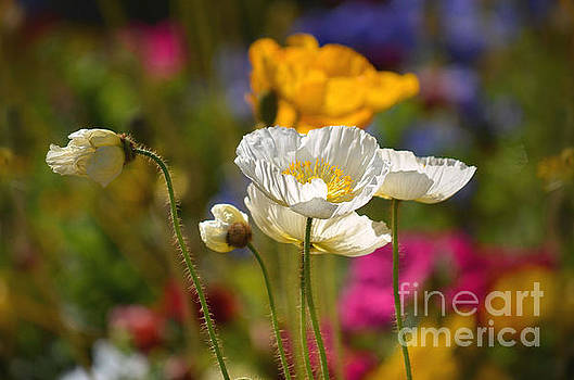 Poppies in the Spring by Deb Halloran